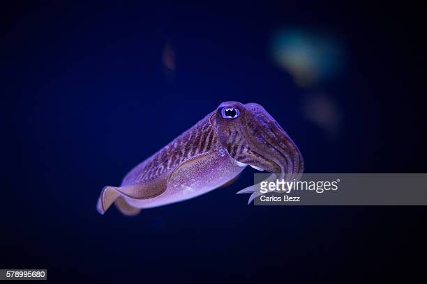 european cuttlefish