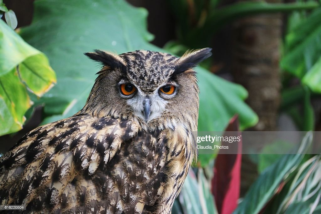 European Eagle Owl : Stock Photo