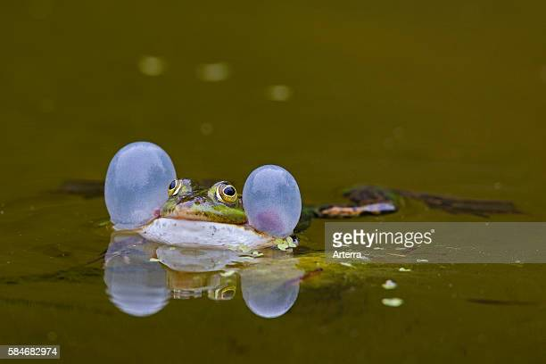 European edible frog croaking by inflating vocal sacs while floating in water of pond