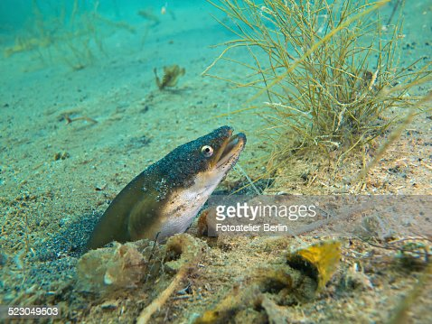 European eel -Anguilla anguilla- looking out of its small cave, Lake Helenesee near Frankfurt an der Oder, Brandenburg, Germany, Europe