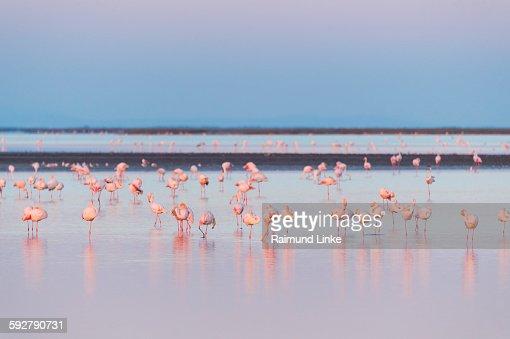 European flamingo at dawn