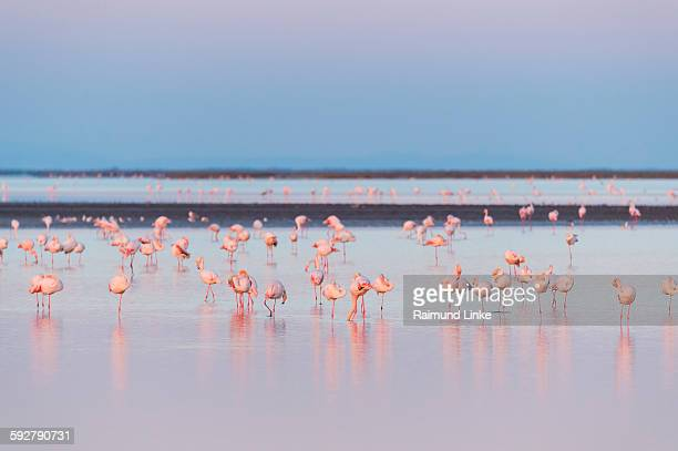 European flamingo at dawn