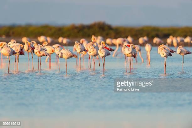 European Flamingo, Phoenicopterus roseus