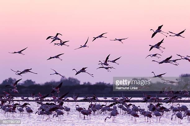 European flamingo