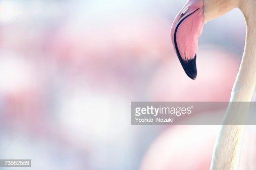 European flamingo (Phoenicopterus ruber roseau)
