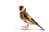 European Goldfinch, carduelis carduelis, standing isolated on white background