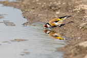 European goldfinch drinking water from a road puddle. (Carduelis carduelis) Authentic farm series.