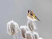 European Goldfinch resting in its habitat at winter time
