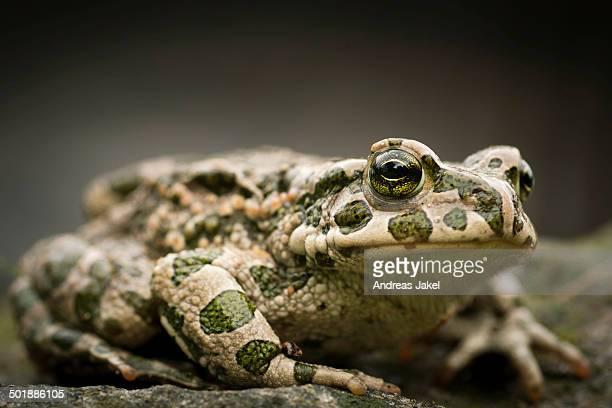 European Green Toad -Bufo viridis-, Rerik, Rerik, Mecklenburg-Western Pomerania, Germany