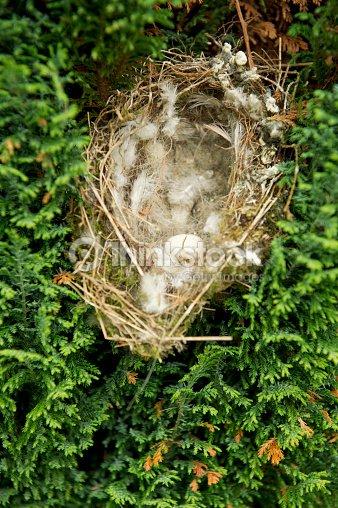 europ ischen gr nling nest mit gebrochenen ei stock foto thinkstock. Black Bedroom Furniture Sets. Home Design Ideas