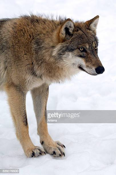 European grey wolf close up in the snow in winter Bavarian Forest Germany