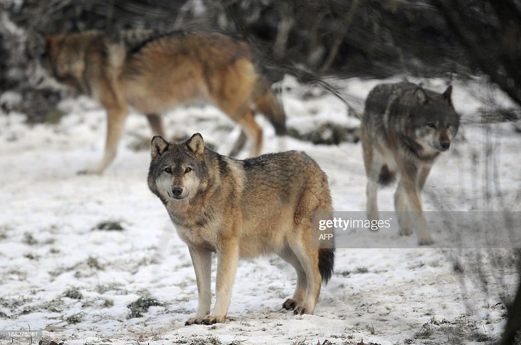 European grey wolves are pictured in the animal park of Sainte-Croix, on December 12, 2012, in Rhodes, eastern France, VERHAEGEN