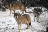 European grey wolves are pictured in the animal park of SainteCroix on December 12 in Rhodes eastern France VERHAEGEN