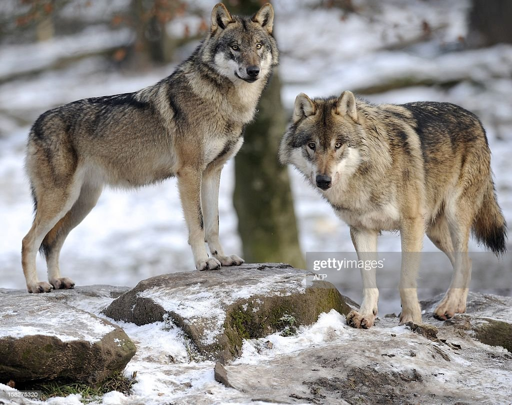 European grey wolves are pictured in the animal park of Sainte-Croix, on December 12, 2012, in Rhodes, eastern France, AFP PHOTO / JEAN-CHRISTOPHE VERHAEGEN