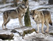 European grey wolves are pictured in the animal park of SainteCroix on December 12 in Rhodes eastern France AFP PHOTO / JEANCHRISTOPHE VERHAEGEN