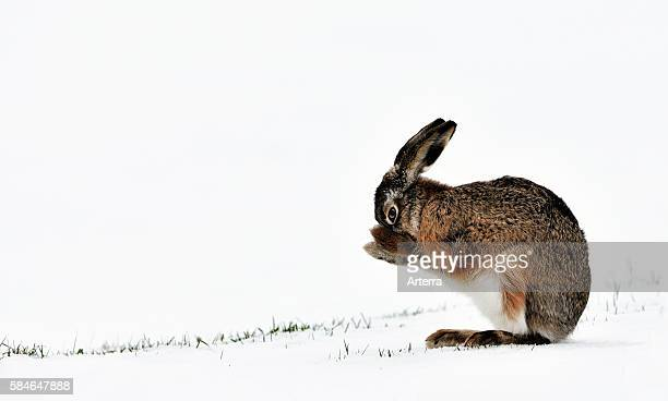 European hare / brown hare grooming fur with paws in snow covered field in winter