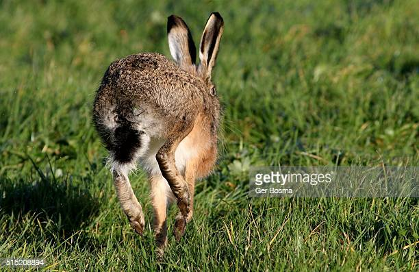 European Hare Head Over Heels