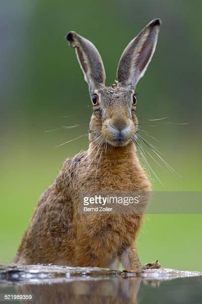 European Hare -Lepus europaeus- at a water place, alert, Bugac puszta, Kiskunsagi National Park, Hungary