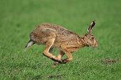 European hare race