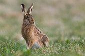 European Hare(Lepus europaeus)