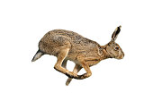 European hare (Lepus europaeus)
