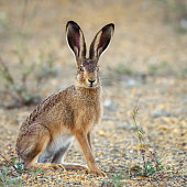 European hare stands on the ground and looking at the camera (Lepus europaeus)