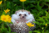 European Hedgehog playing at the flower garden, very pretty face and two front paws.