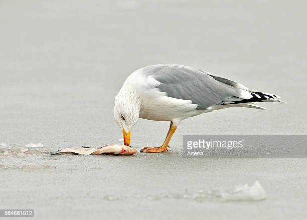 European Herring Gull eating fish on frozen lake the Netherlands