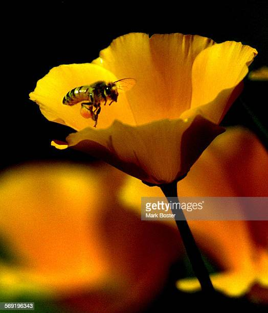 A European Honey Bee carrying a giant sack of pollen on his hind leg hovered over a California Poppy near the entrance to Ronald W Caspers Regional...