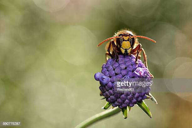 European hornet on a blossom
