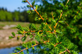 European larch Larix decidua