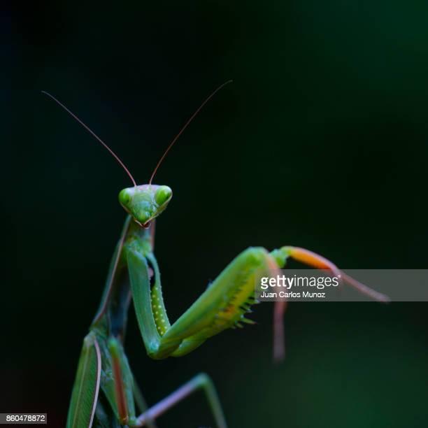 European mantis - Mantis (Mantis religiosa), Insectos, Arthropodos, Cantabria, Spain, Europe