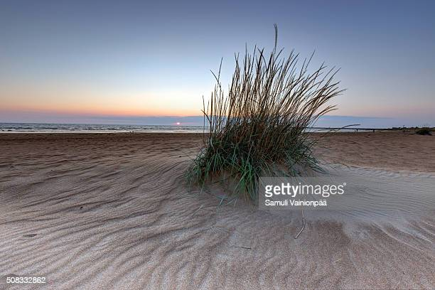 European Marram Grass growing on a beach