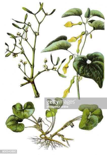 European mistleto Viscum album hazelwort Asarum europaeum birthwort Aristolochia clematitis