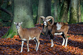 European mouflon ram and ewe in forest in autumn Germany