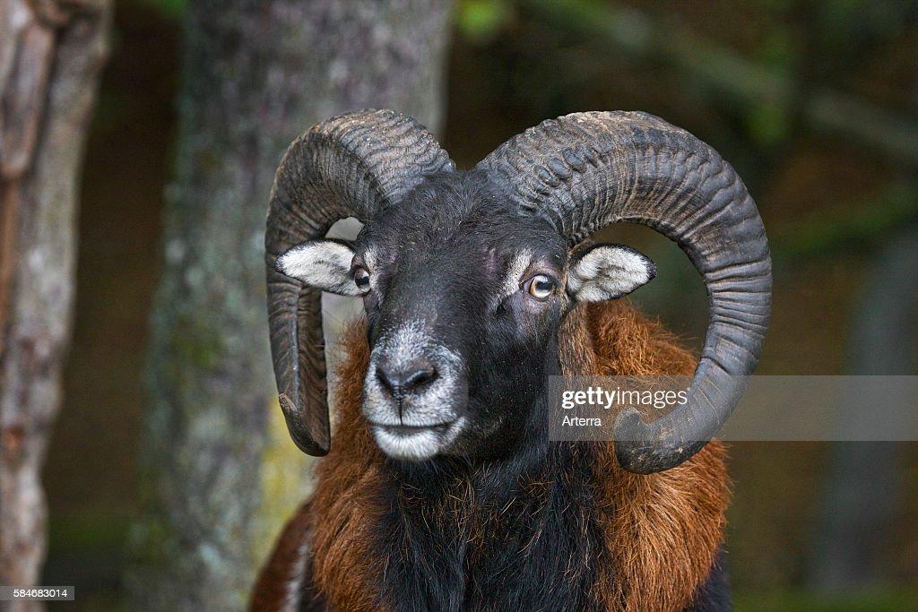 European mouflon ram close up