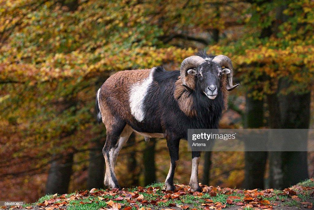 European mouflon ram in forest in autumn