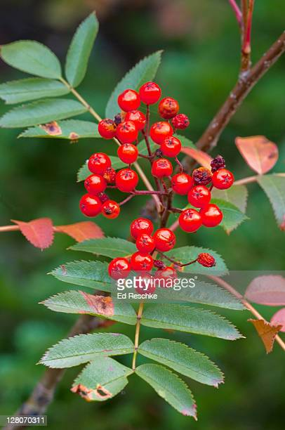 European Mountain Ash (Sorbus aucuparia), Fruit like small apples with bright red skin, Native of Eurasia, introduced in colonial times, Glacier National Park, Montana, USA