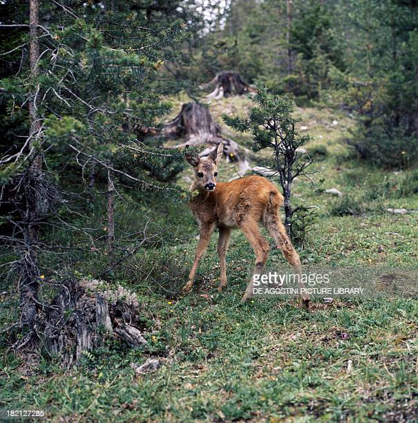European or western roe deer or chevreuil Deer or Cervids Dolomites Italy