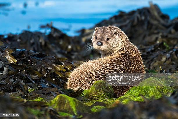 European otter resting on seaweed covered shoreline rocks