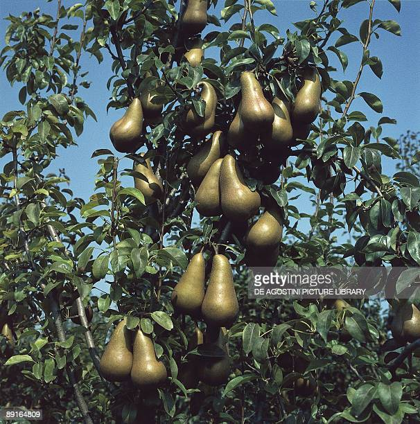 European Pear tree with fruits