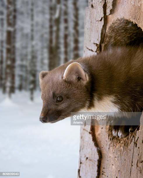 European pine marten emerging from woodpecker's nest hole in tree in snow covered forest in winter