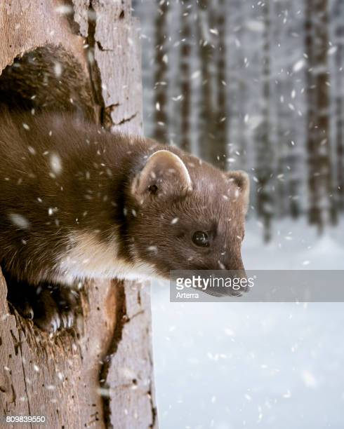 European pine marten emerging from woodpecker's nest hole in tree during snow shower in winter