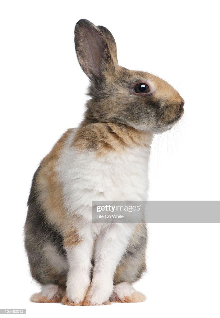 European Rabbit - Oryctolagus cuniculus : Stock Photo
