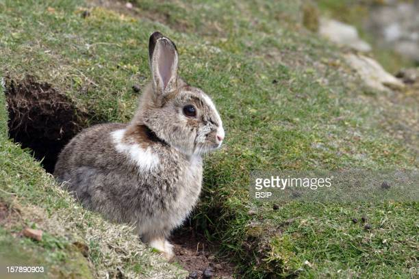 European Rabbit Young European Rabbit Coming Out Of The Burrow Shetland Islands ScotlandOryctolagus Cuniculus Rabbit Leporid Mammal