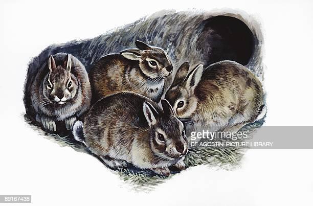 European Rabbits in den illustration