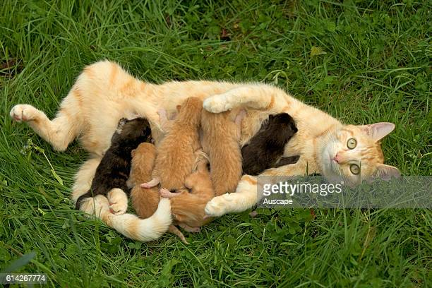 European red tabby and several kittens suckling in grass