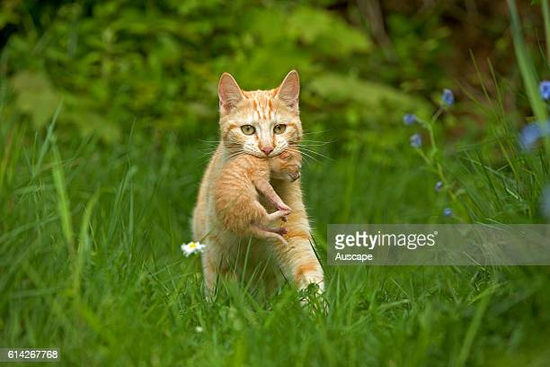 European red tabby carrying a kitten through meadow