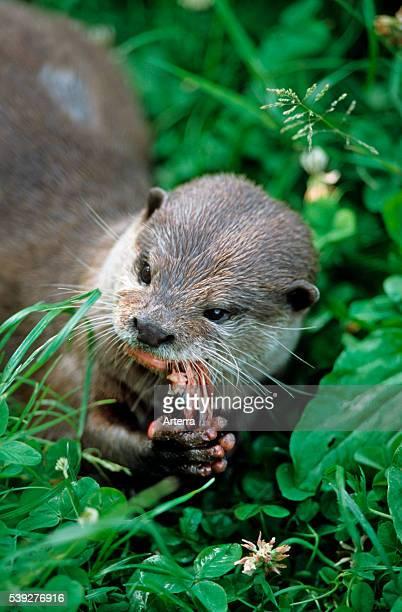 European river otter eating fish on shore