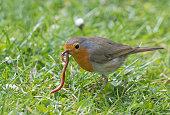 European robin (Erithacus rubecula) eating an earthworm